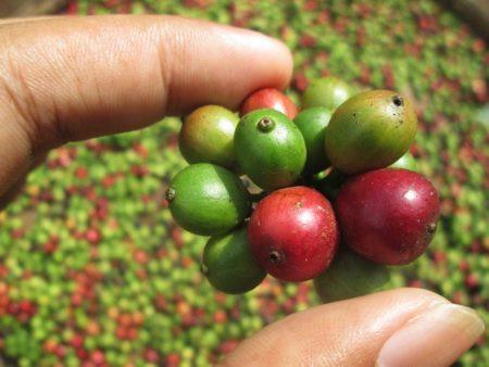 Kaffee Bohnen: grüne Bohnen vor der Röstung